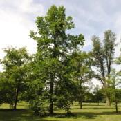 Location: Elm Collection of Morton Arboretum in Lisle, ILDate: 2015-06-19the first mature tree