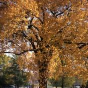 Location: Hinsdale, IllinoisDate: October in 1980'sfull-grown tree in autumn color
