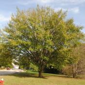 Location: Downingtown, PennsylvaniaDate: 2017-10-21mature tree in town