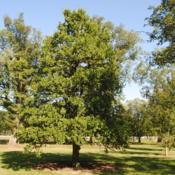 Location: Elm Collection of Morton Arboretum in Lisle, ILDate: 2017-09-05maturing tree