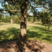 Location: Elm Collection of Morton Arboretum in Lisle, ILDate: 2017-09-05the trunk