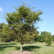 Location: Elm Collection of Morton Arboretum in Lisle, ILDate: 2017-09-05maturing tree, not full-grown