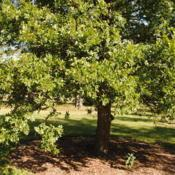 Location: Elm Collection of Morton Arboretum in Lisle, ILDate: 2017-09-05foliage of tree