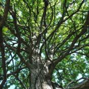 Location: Elm Collection of Morton Arboretum in Lisle, ILDate: 2017-09-05looking up the trunk