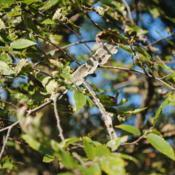 Location: Elm Collection of Morton Arboretum in Lisle, ILDate: 2017-09-05corky winged twigs