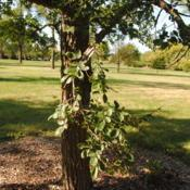 Location: Elm Collection of Morton Arboretum in Lisle, ILDate: 2017-09-05trunk and low branch
