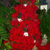 Location: Botanical Gardens of the State of Georgia...Athens, GaDate: 2017-11-30Christmas Poinsettia Display 002