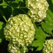 "Location: Clinton, Michigan 49236Date: 2016-05-22""Viburnum opulus 'Roseum'  , 2016, Eastern or European"