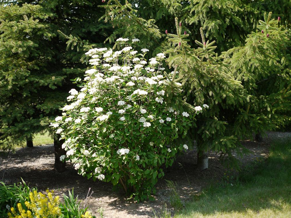 Photo Of The Seedling Or Young Plant Of Wayfaring Tree Viburnum