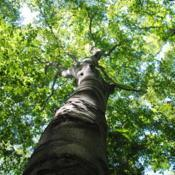 Location: Blinky Lee Land Preserve in southeast PADate: 2017-09-28looking up trunk