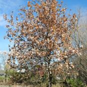 Location: near West Chester, PennsylvaniaDate: 2010-11-10planted maturing tree in park
