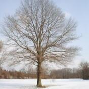 Location: Downingtown, PennsylvaniaDate: 2010-01-08full-grown tree in winter