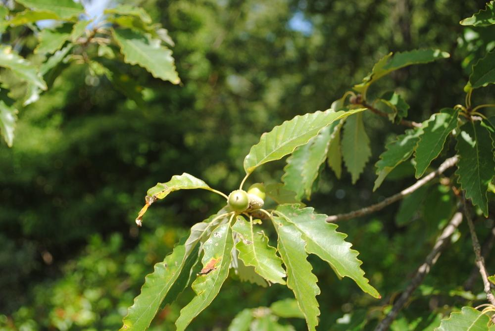 Photo of Chinkapin Oak (Quercus muehlenbergii) uploaded by ILPARW