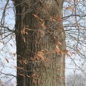 Location: Downingtown, PennsylvaniaDate: 2010-01-08portion of trunk