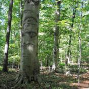 Location: Blinky Lee Land Preserve in southeast PADate: 2017-09-28big beech trunk and others