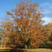 Location: Tyler Arboretum in southeast PADate: 2010-10-28fall color of tree