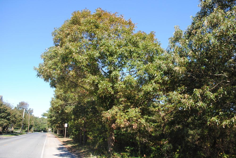 Photo of Southern Red Oak (Quercus falcata) uploaded by ILPARW
