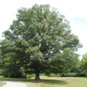 Location: Downingtown, PennsylvaniaDate: 2015-08-20full-grown tree