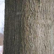 Location: Downingtown, PennsylvaniaDate: 2010-01-08close-up of bark on trunk