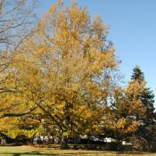 Location: Downingtown, PennsylvaniaDate: 2016-11-22fall color of full-grown tree