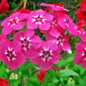 Location: My GardensDate: August 29, 2015Annual Phlox (Phlox drummondii )