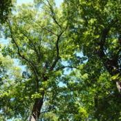 Location: Indiana Dunes State Park in northwest IN Date: 2016-07-16looking up at canopy
