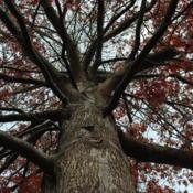 Location: Downingtown, PennsylvaniaDate: 2011-11-11looking up a trunk in fall