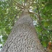 Location: southeast PADate: 2017-08-24looking up a large trunk