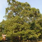 Location: Nottingham Park in southeast PADate: 2010-09-03full-grown tree in summer