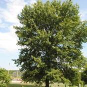 Location: Thorndale, PennsylvaniaDate: 2010-08-05large tree in church yard