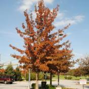 Location: Exton, PennsylvaniaDate: 2011-10-23planted maturing tree in fall color