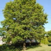 Location: Downingtown, PennsylvaniaDate: 2010-07-02full-grown tree in yard