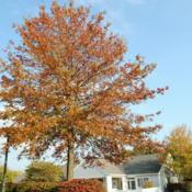 Location: Newtown Square, PennsylvaniaDate: 2010-10-19orange fall color
