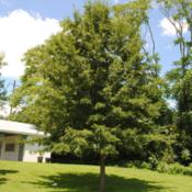 Location: Downingtown, PennsylvaniaDate: 2015-07-23young planted tree