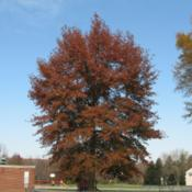 Location: Downingtown, PennsylvaniaDate: 2006-11-05red fall color