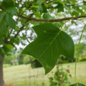 "Location: Clinton, Michigan 49236Date: 2015-07-08""Liriodendron tulipifera, 2015, Tulip Tree, leer-ee-oh -DEN-drun"