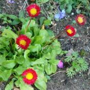 Location: Nora's Garden - Castlegar, B.C. Date: 2017-10-09 4:48 pm. No category in the Database yet for 'Bellissima Red'