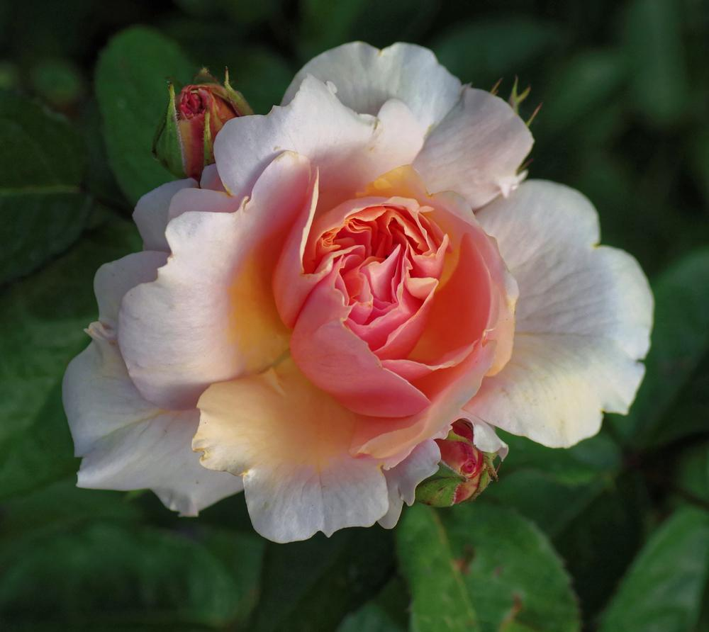 Photo of Rose (Rosa 'Soul Sister') uploaded by dirtdorphins