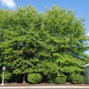 Location: Downingtown, PennsylvaniaDate: 2015-07-22two mature trees behind a Wawa store