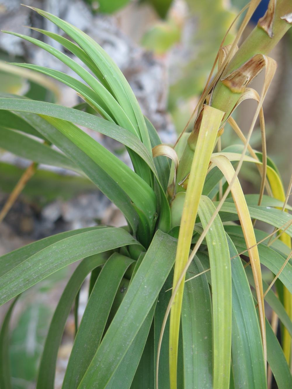 Photo of Ponytail Palm (Beaucarnea recurvata) uploaded by Baja_Costero