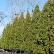 Location: Wayne, PennsylvaniaDate: 2007-12-25a row of mature trees