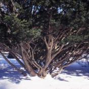 Location: Morton Arboretum in Lisle, IllinoisDate: winter in the 1980'sa large shrub-tree