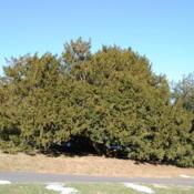 Location: Tyler Arboretum in southeast PADate: 2010-01-09a large mother species shrub-tree