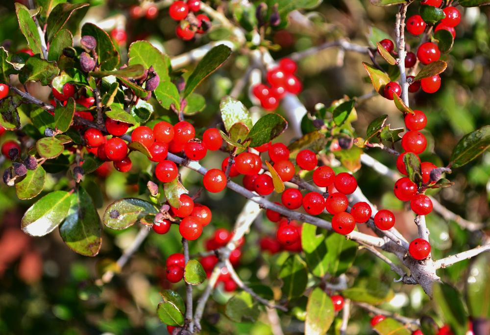 Photo of Yaupon Holly (Ilex vomitoria) uploaded by dawiz1753