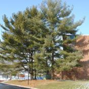 Location: Downingtown, PennsylvaniaDate: 2010-01-08three mature trees