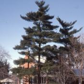 Location: Aurora, IllinoisDate: Winter in the 1980'stwo large trees in a yard