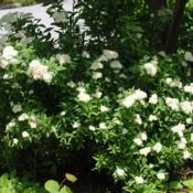 Location: West Chester, PennsylvaniaDate: 2010-06-14a White Woodland Japanese Spirea S. japonica albiflora