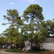Location: Rehoboth Beach, DelawareDate: 2010-09-08full-grown trees in yard