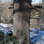 Location: Valley Forge Park in southeast PADate: 2014-01-30a mature trunk