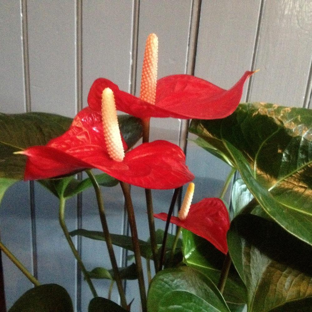 Photo of Anthuriums (Anthurium) uploaded by csandt